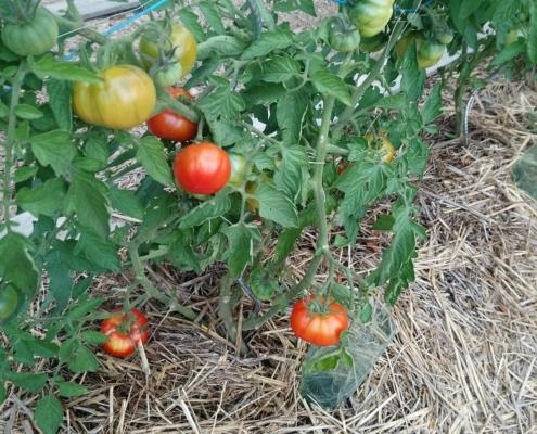 Tomates du Jardin partagé de la Grive Musicienne à La Chapelle-Thouarault