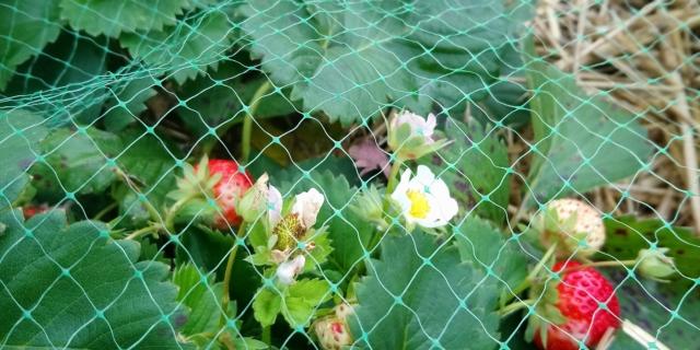 fraises du Jardin partagé de la Grive Musicienne à La Chapelle-Thouarault